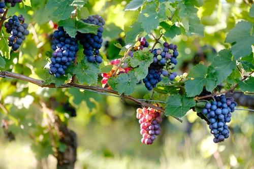 Photo de raisins sur des vignes pour illustrer le vignoble des environs d'Orléans.